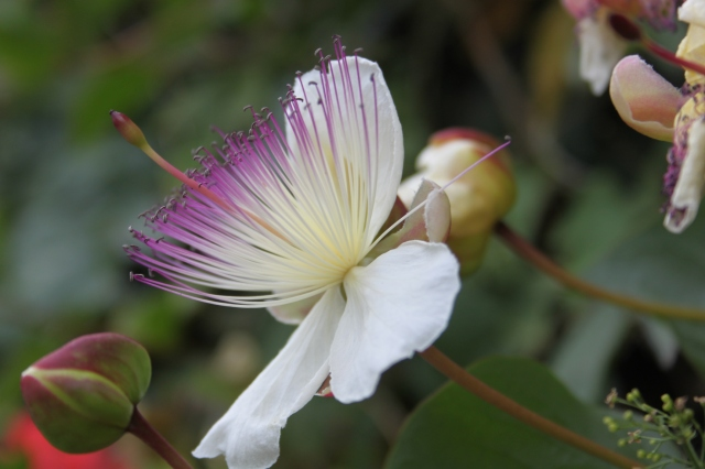Italian Wildflowers - Capparis spinosa