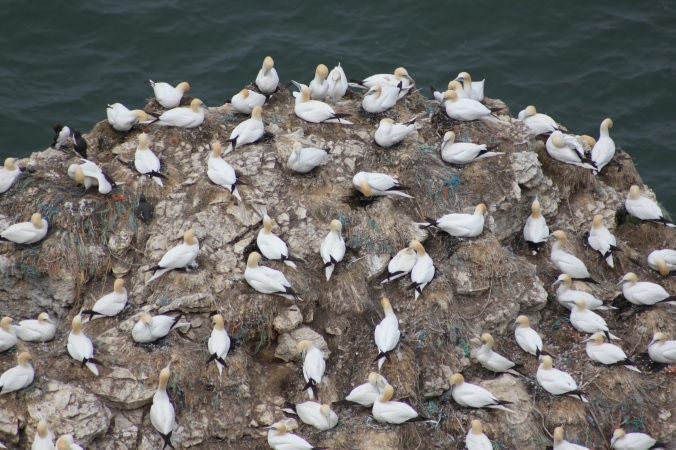 Looking down from the cliff tops in May on nesting Gannets