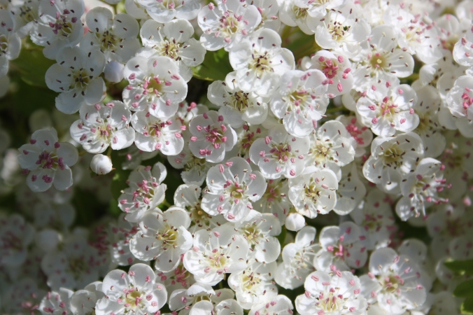 Crataegus monogyna Hawthorn flowers
