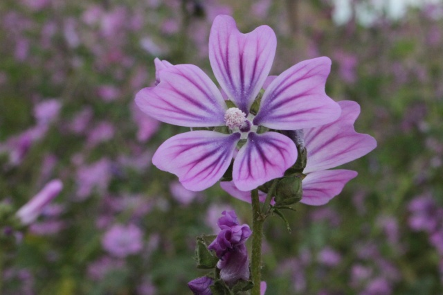 Malva Sylvestris Common mallow