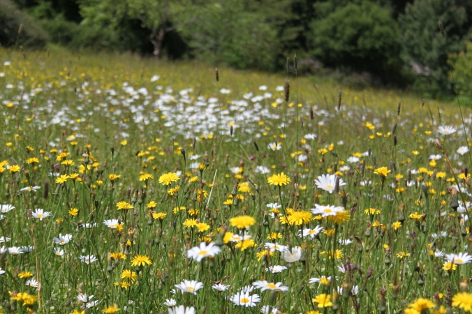 Wildflowers at Rosemoor
