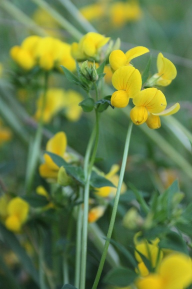 Lotus corniculatus Common Birds-foot-trefoil