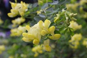 Coronilla subsp. glauca Citrina