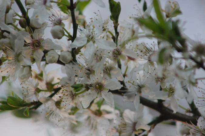 Wild Damson Blossom