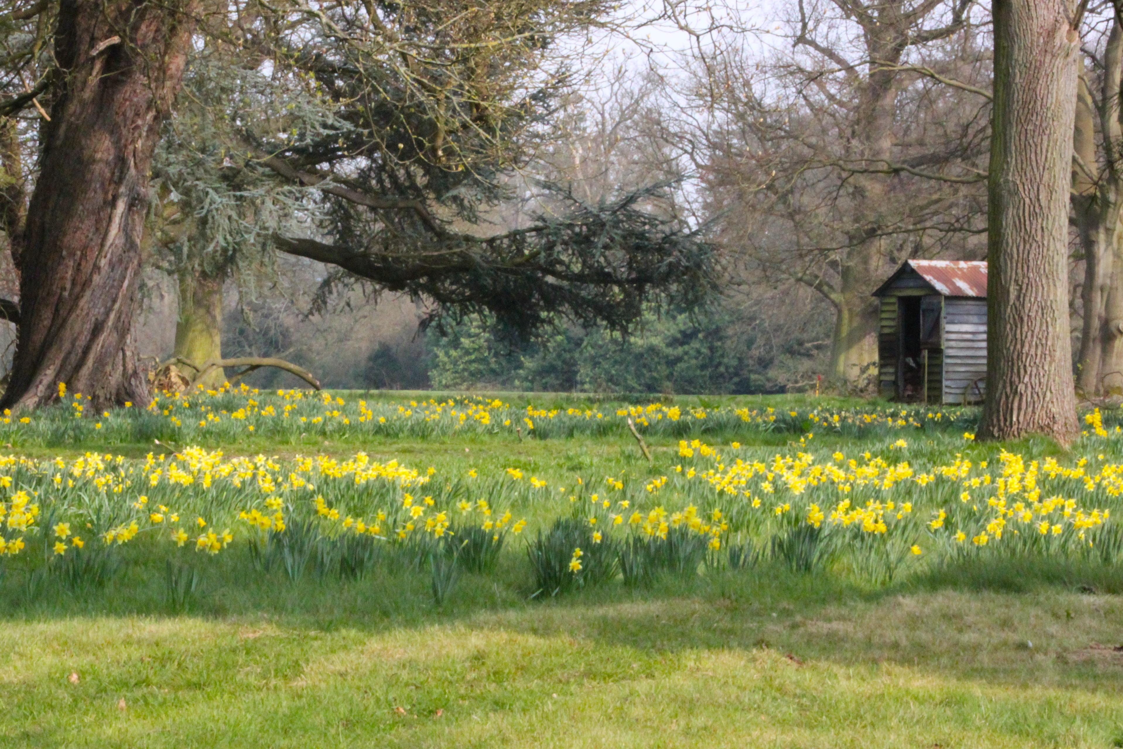 Daffodils in sprightly dance