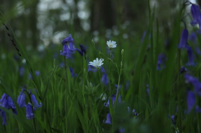 Bluebells and Greater Stitchwort