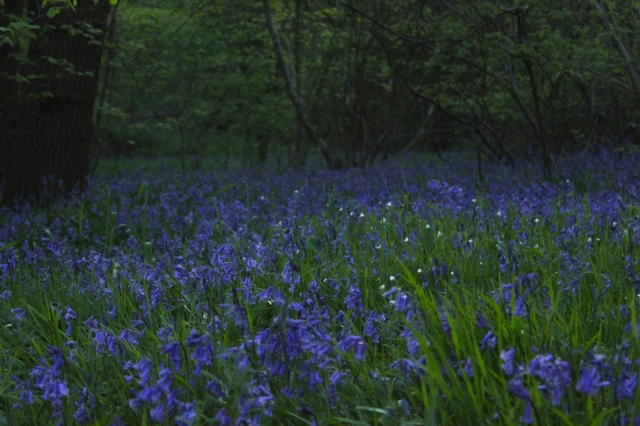 Wildflower Wednesday - Bluebells and the 2014 Natural History Museum Bluebell survey