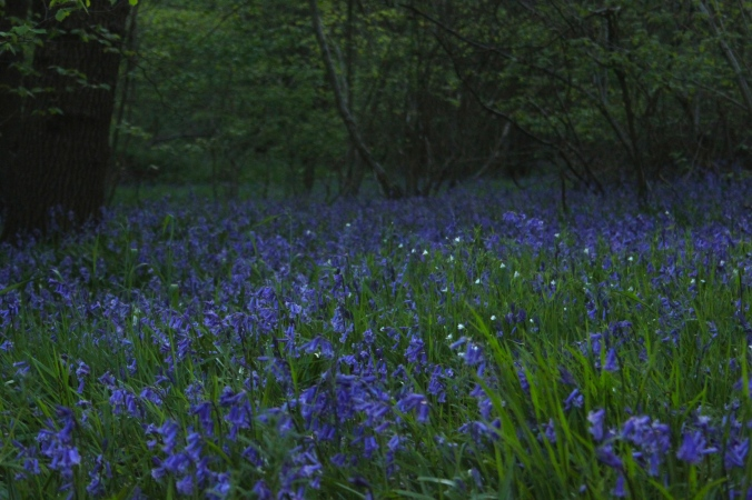 Maulden Woods Bluebells
