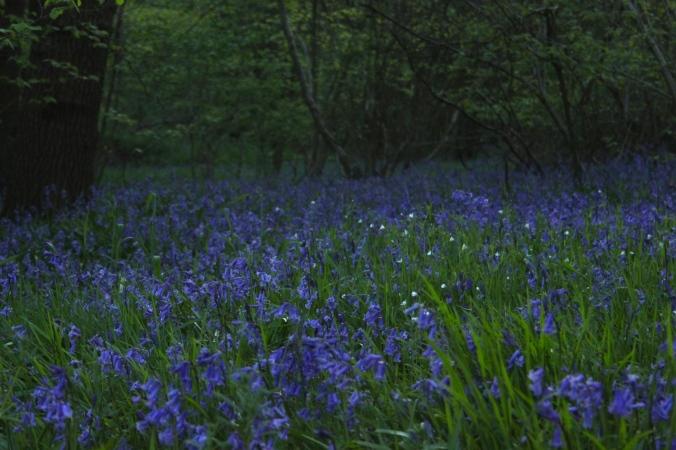 Maulden Woods Bluebells