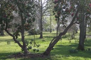 Nineteenth century Rhododendron in the Woodland garden