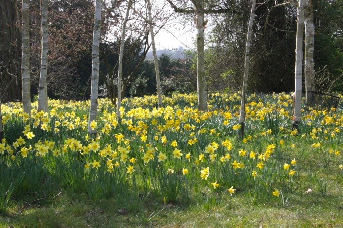 Daffodils in the Woodland garden