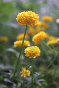 Ranunculus montanus Double form