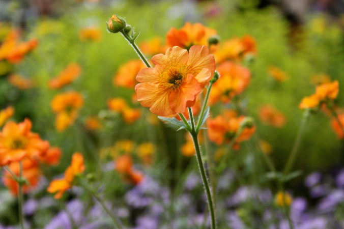 Hardys Cottage Garden Plants Geum 'Totally Tangerine'