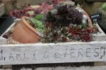 D'Arcy & Everest Alpine & Sempervivum troughs