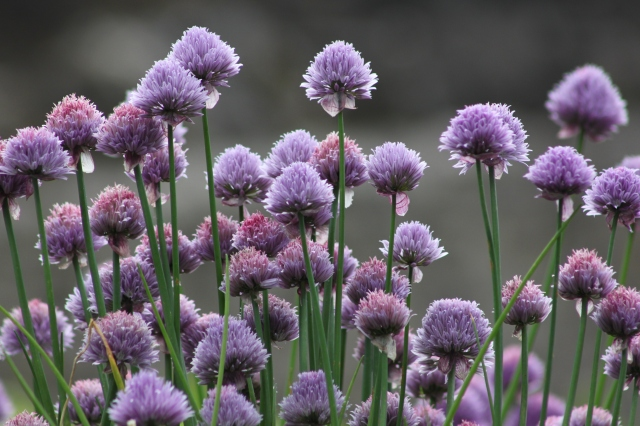 Wordless Wednesday - Chive Flowers