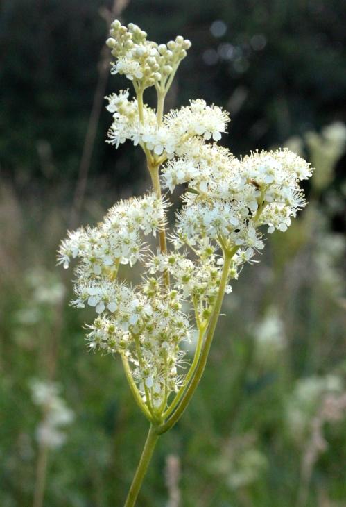 Meadowsweet Filipendula ulmaria in July