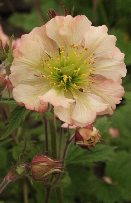 Geum 'East of Eden' From East of Eden Nursery