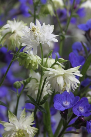 Aquilegia 'Green Apples' on the Artisan category Norse Garden