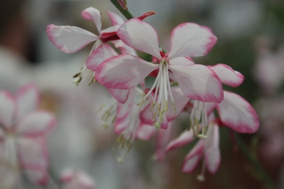 Gaura 'Freefolk Rosy' Shortlisted for RHS Plant of the Year from Hardys