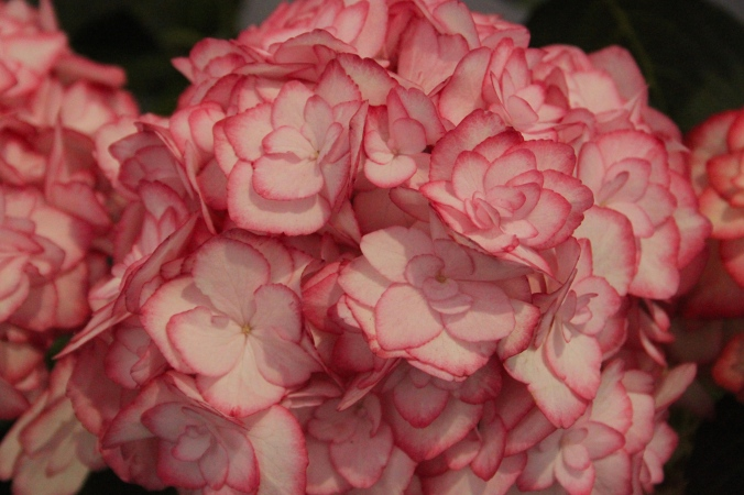 Wordless Wednesday RHS Plant of the Year 2014 Hydrangea macrophylla Miss Saori