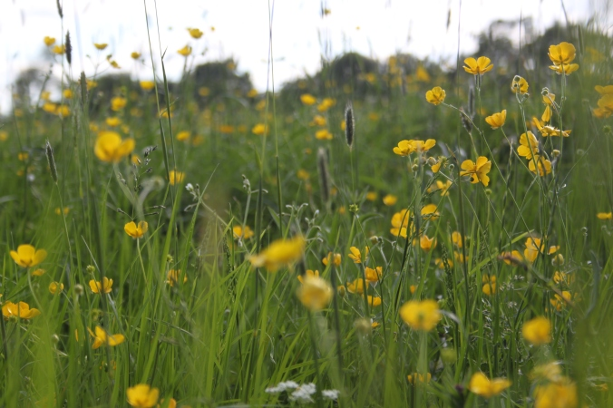 Meadow Buttercups Ranunculus acris