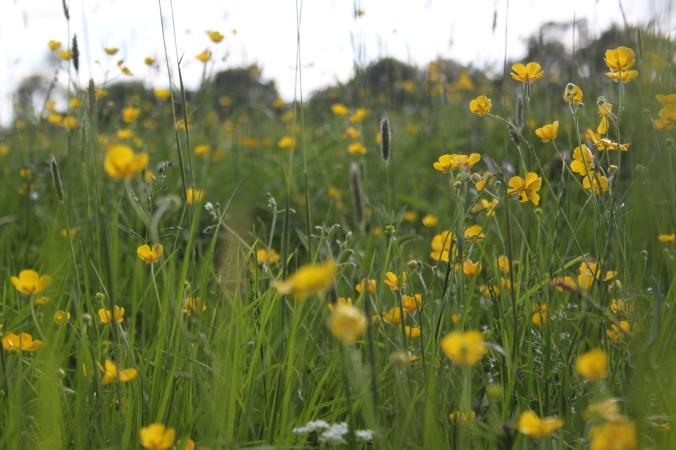 Meadow Buttercups Ranunculus acris