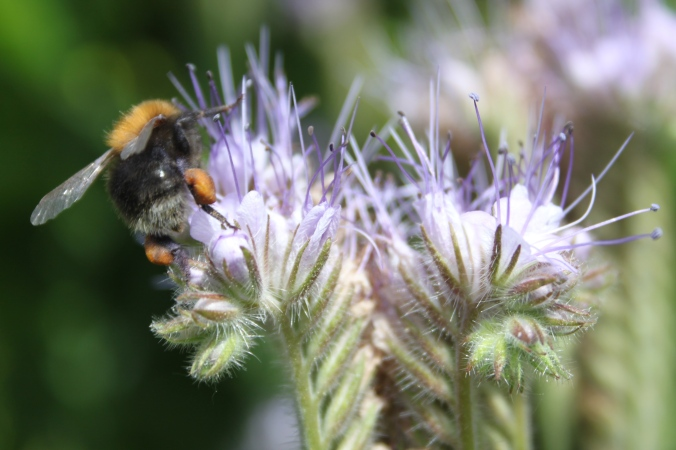 Phacelia tanacetifolia and female worker bee - is this a tree bumblebee (Bombus hypnorum) ?