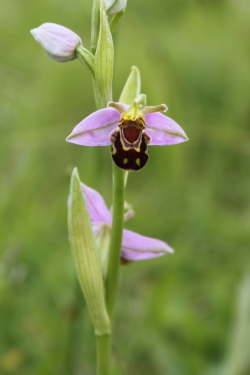 Bee Orchid - Pegsdon Hills nature reserve