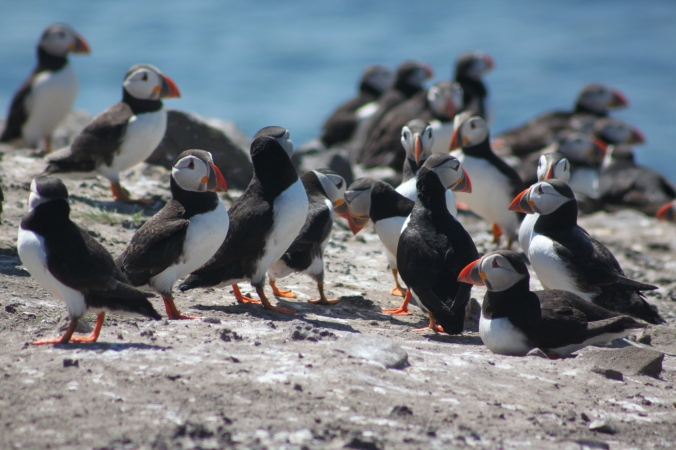 On holiday! Puffins, Farne islands, Northumberland.