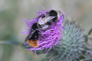Cirsium vulgare and two species of Bumblebees