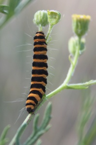 Cinnabar Moth caterpillar on Hoary Ragwort