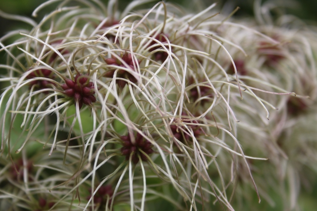 Wordless Wednesday - Clematis vitalba aka Old Mans Beard or Travellers Joy