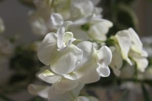 Perennial Sweet Pea Lathyrus latifolius 'White Pearl'