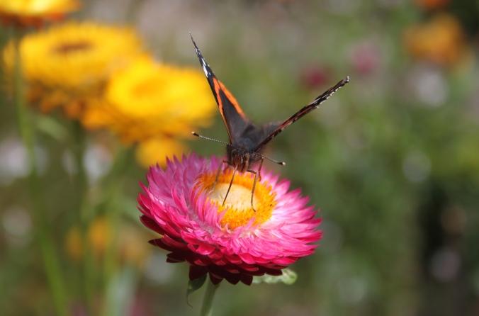 Red Admiral (Vanessa atalanta) Strawflower (Xerochrysum bracteatum) Wimpole Hall