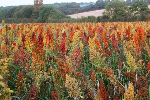 Wildflower Wednesday - Chenopodiums - Goosefoot in Autumn Colours