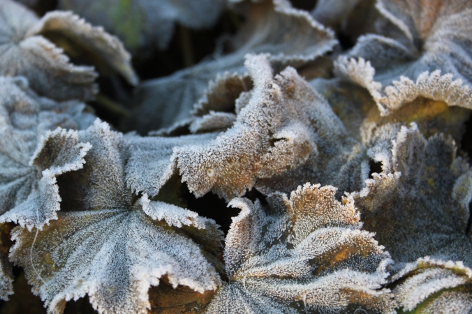 Frosted Alchemilla mollis leaves
