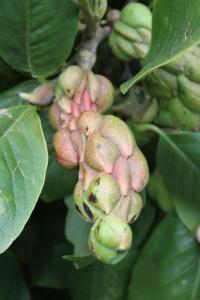 Hestercombe Magnolia Seed Head