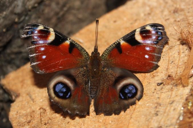 Peacock Butterfly Jan 4th 2015