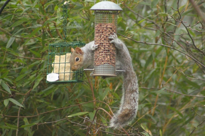Squirrel on our bird feeder
