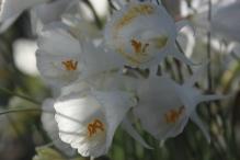 Narcissus albidus