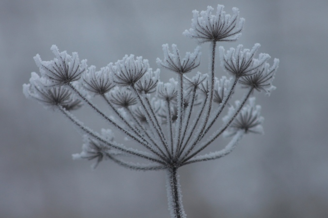 Frozen Hogweed