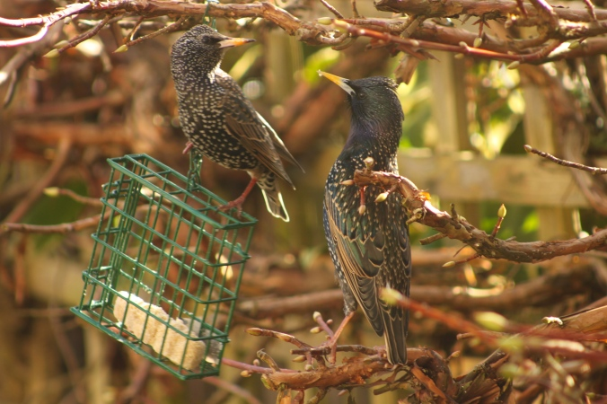 Two Starlings - a mature bird and a juvenile