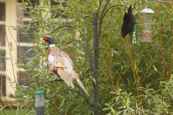 Pheasant and Jackdaw
