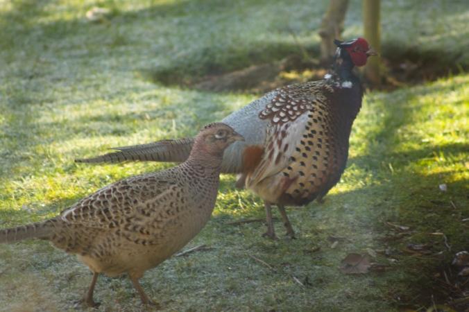 Male and Female Pheasant