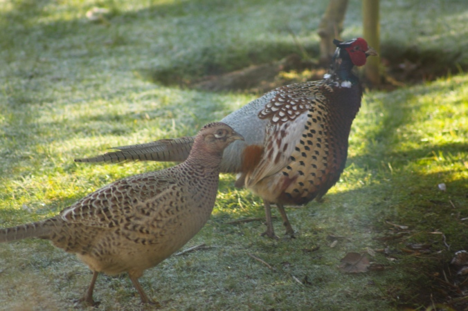Male and Female Pheasant