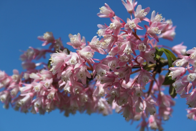 Chinese Bladdernut Tree blossom (Staphylea holocarpa 'Rosea') Cambridge Botanic Gardens