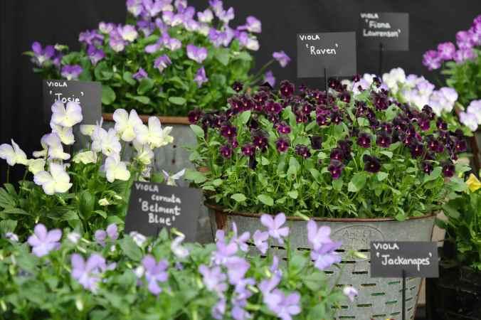 Wildegoose Nursery Perennial Violas