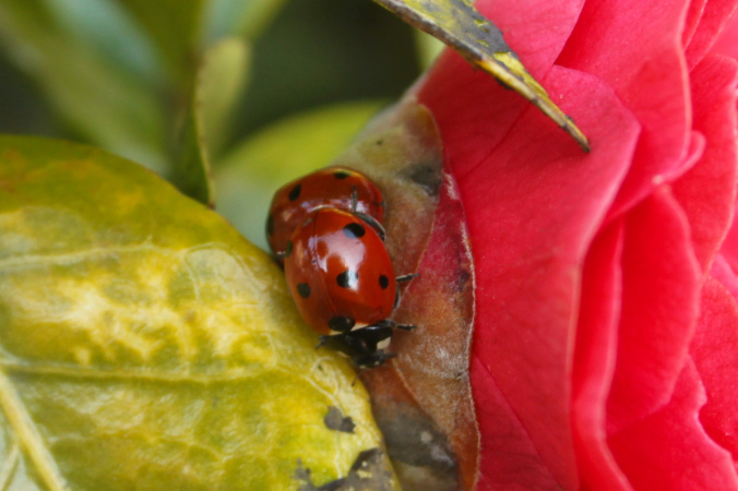 7 spot native Ladybird