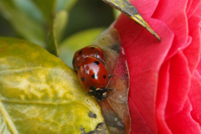7 spot native Ladybird