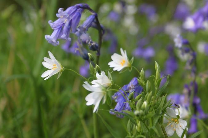 Bluebells and Stitchwort